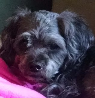 dog heart murmur medication pimobendan early max lhaso apso owned by heather mohr of green valley was diagnosed with grade heart murmur at one year old at 14 maxs became enlarged and heart disease in pets santa clarita valley signal