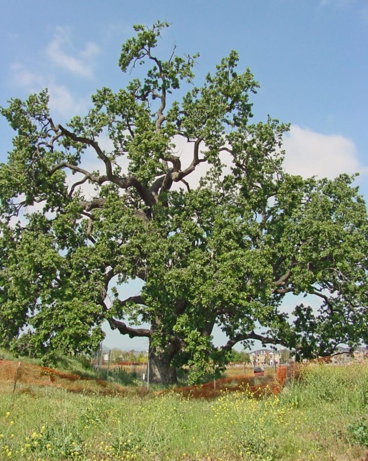 Earth Day: Death of a heritage oak
