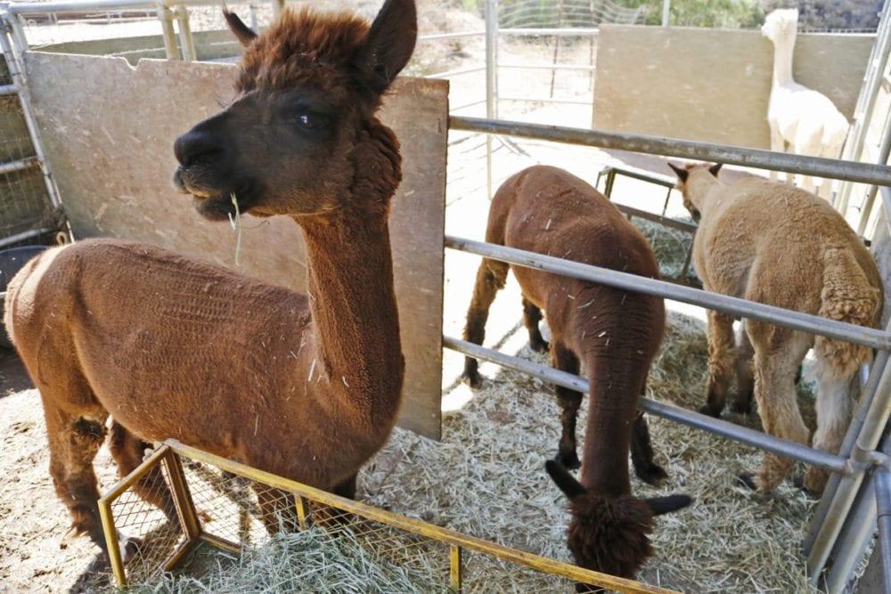 Alpaca Petting Zoo California Library And Zoo Idoimagesco