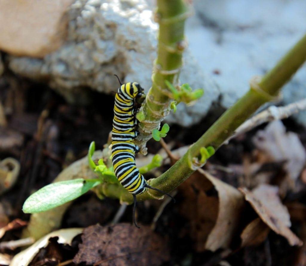 080518_gardens-caterpillar_js