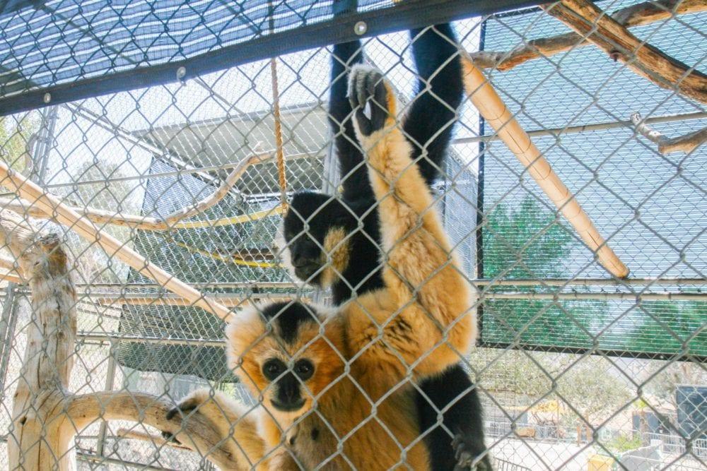 Gibbons Center seeks fundraising for new gibbon enclosure