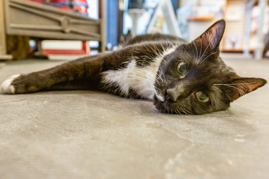 Kitty Cafe helps raise funds for shelter animal vet costs